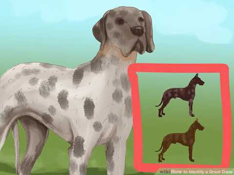 How to Identify a Great Dane