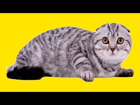 Шотландская Вислоухая Кошка Уход за Вислоухой Чем кормить породистую кошку Домик для кошки