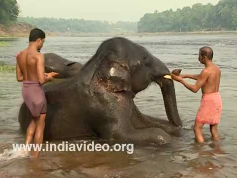 Time for bath for the tusker of Kodanad