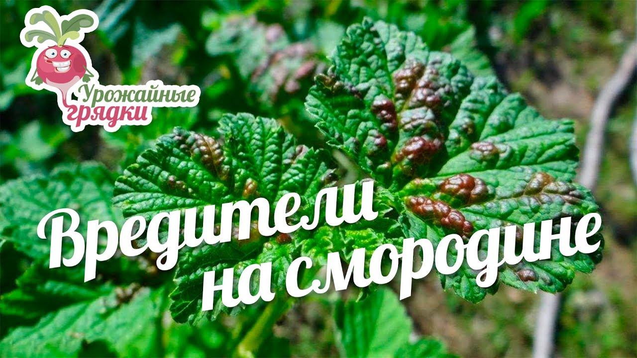 Вредители на смородине #urozhainye_gryadki