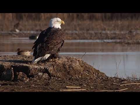 Adult bald eagle, Sacramento NWR, 2/21/18