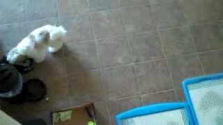 Wizdog potty training - Shih Tzu uses Wizdog downstairs