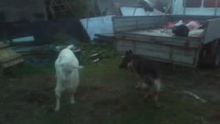 Собака vs козел