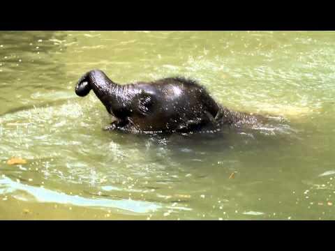 Baby Elephant Swimming