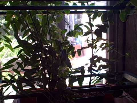 Growing Sauropus androgynous AKA  Katook or Katuk. Tropical Edible perennial green