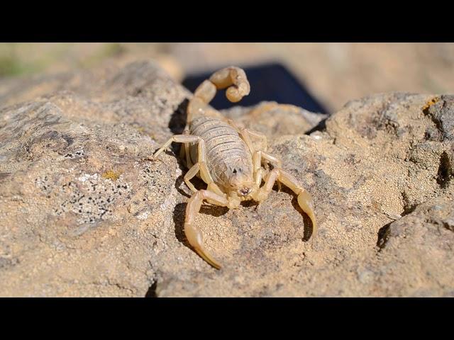Scorpion languedocien Jujols ©PNRPC
