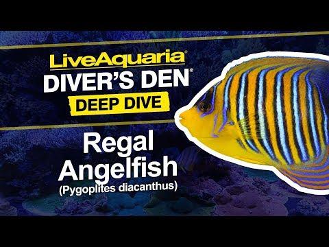 LiveAquaria® Diver's Den® Deep Dive: Regal Angelfish (Pygoplites Diacanthus)