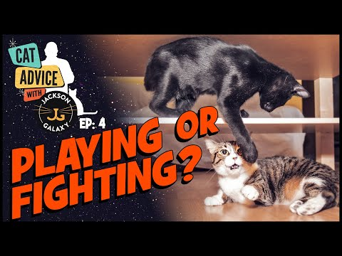 Cat Fight or Cat Play?