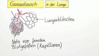 Gasaustausch   Biologie   Der Mensch