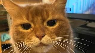 Somali Cat  Cat Breed  Pet Friend