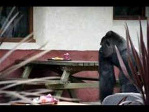 escaped gorilla bokito blijdorp zoo