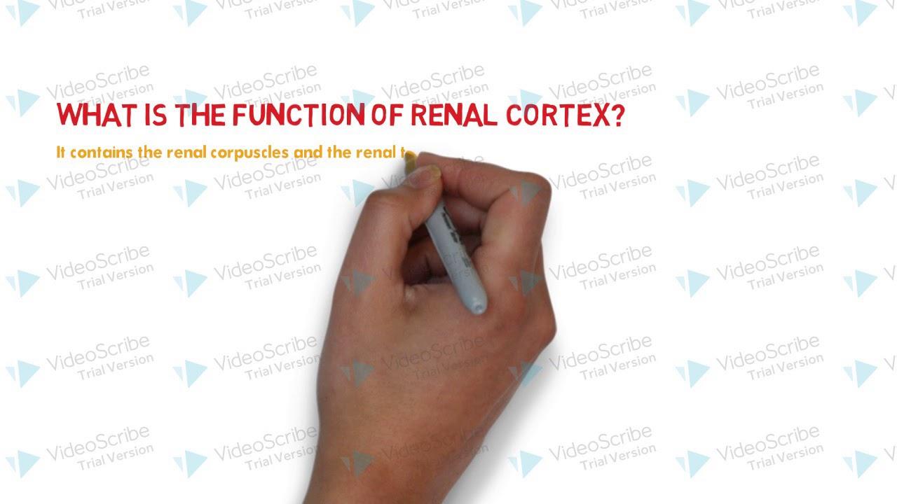 Renal Cortex Youtube