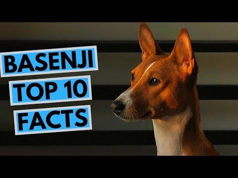 Basenji - TOP 10 Interesting Facts