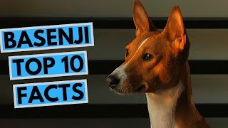 Basenji  TOP 10 Interesting Facts