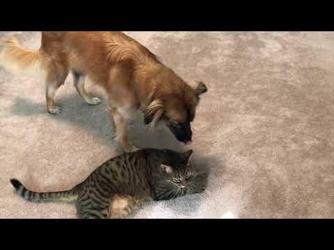 Dog can't stop licking the Cat - Australian Shepherd