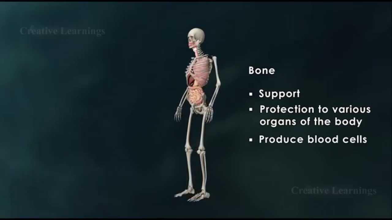 Structure of Bone Anatomy of Bone 3D Animation Biology - YouTube