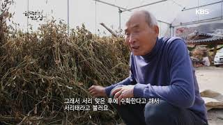 서리 맞은 후에 수확한다고 해서 서리태 [한국인의 밥상…