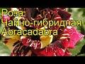 Роза чайно-гибридная Абракадабра. Краткий обзор, описание характеристик Abracadabra