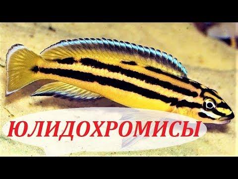 Рыбка юлидохромис. Совместимость, содержание, размножение ...