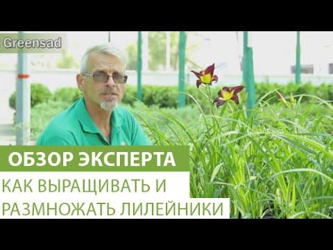 Как выращивать и размножать лилейники