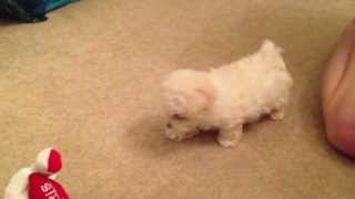 Maltipoo (maltese Poodle Mix) Puppy Playing