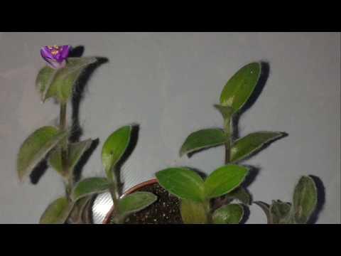 Пушистый зеленый друг  Комнатные растения| Традесканция силламонтана