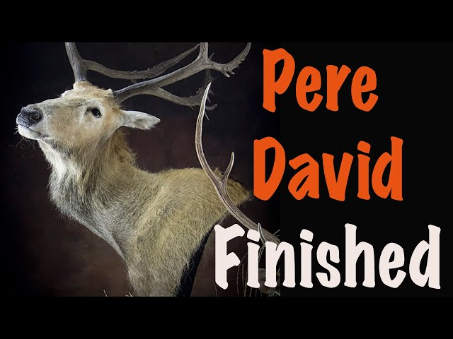 Pere David Deer, Part 5 of 5... Tucking the EYES and LIPS. ....Art of taxidermy.