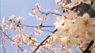 映画『laundry』メインテーマ曲。桜の写真と一緒に。