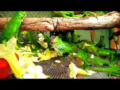 iguanas bebes comiendo