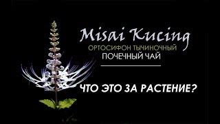 Почечный чай /Ортосифон тычиночный/Misai kucing