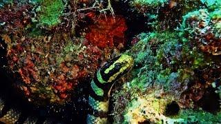 Un serpent  tricot rayé en maraude  (Laticauda colubrina) sea snake  Dolphin House Cebu