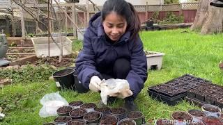 Cách Ươm Hạt Rau Muống, Khổ Qua, Mướp Hương - Starting Seeds (bittermelon, Ong Choy, Luffa)