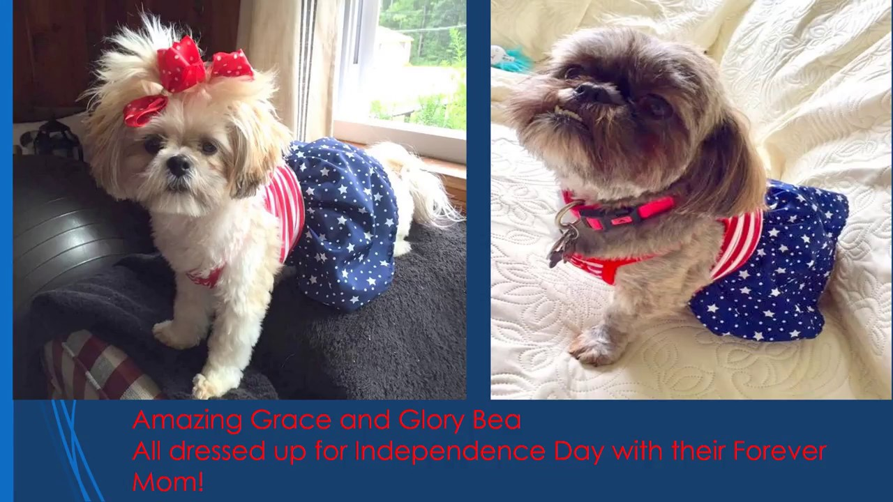 Our Shih Tzu and Furbaby Rescue Family Celebrates the 4th of July!