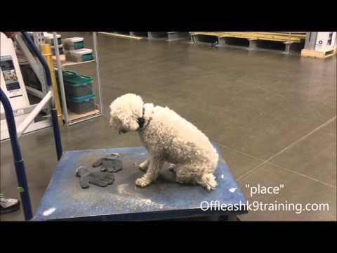 3 Year Old Lagotto, Bella!  Lagotto Dog Trainers | Lagotto Dog Training