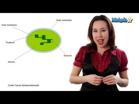 Learn Biology: Cells—Chloroplasts