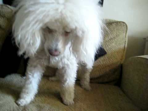 Lovato Images loves dogs - Poodle Attacks Unknown ...