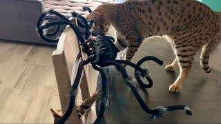 Savannah Cats Playing With A Halloween Spider! #cute #cat #halloween