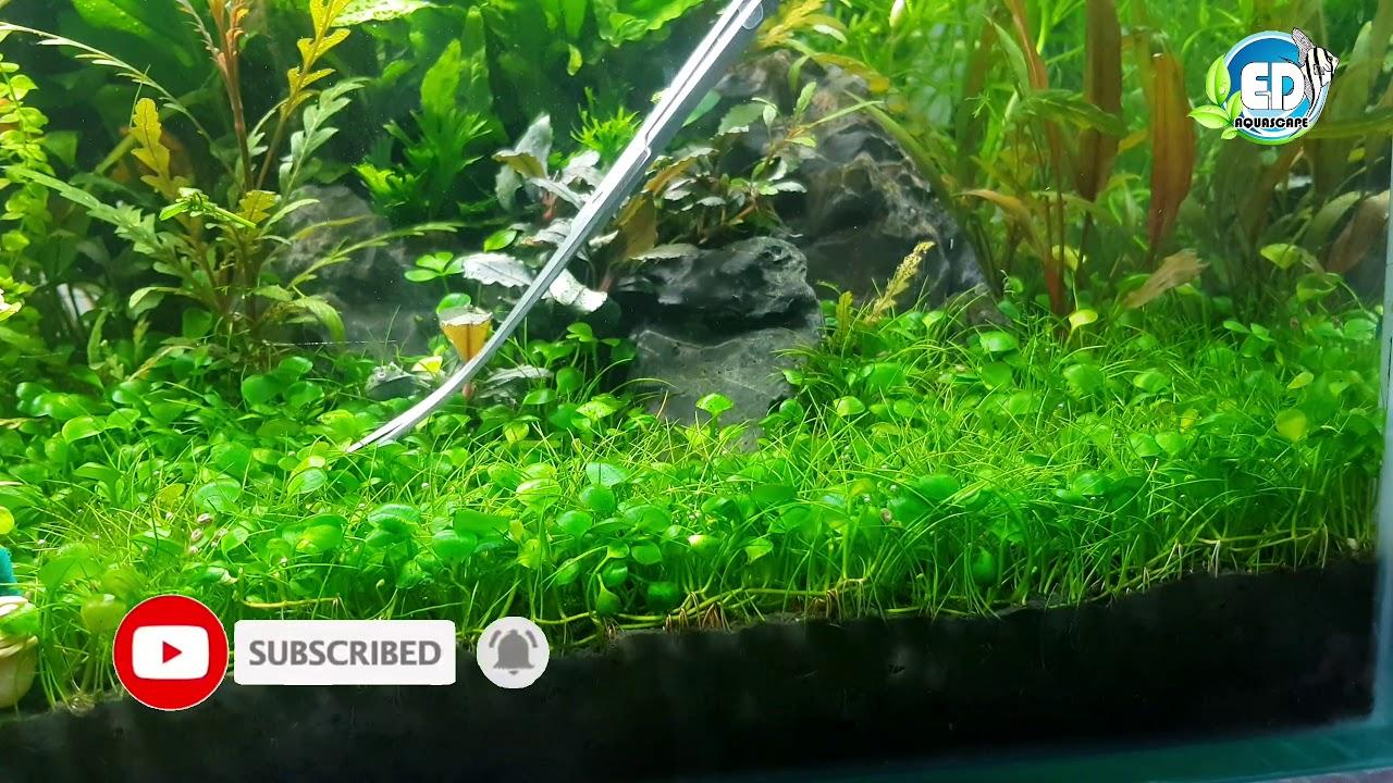 The 10 Best Carpet Plants For Your Aquarium Some Are Easy Aquarium Genius