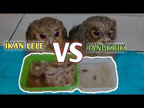 Tips Cara Memberi Makan Owl Clepuk Dengan JANGKRIK Dan Daging Ikan LELE Dengan Benar.