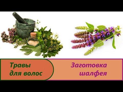 Шалфей: лечебные свойства, применение и противопоказания