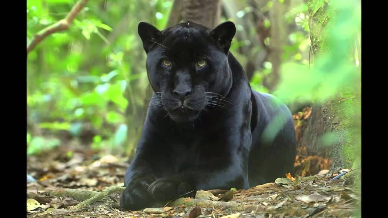 La Pantera Negra: Felinos La Pantera Negra Black Panther