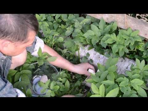 грибы вешенки выращивание на пеньках