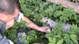 Выращивание вешенки на пнях. 1 июня 2016 года.(Выращивание вешенки. ВК: https://vk.com/dvotdi Одноклассники: http://ok.ru/profile/584168826418 Facebook: ..., 2016-06-22T05:00:00.000Z)