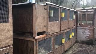 видео Кролики Ризен: разведение и уход