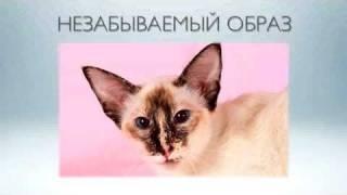 Балийская кошка или балинез - видео рассказ о породе