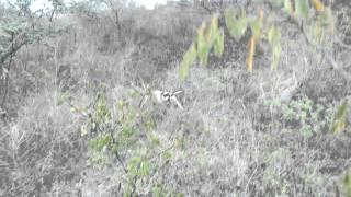 Foxhound Americano Com Beagle   Caçada De Raposa