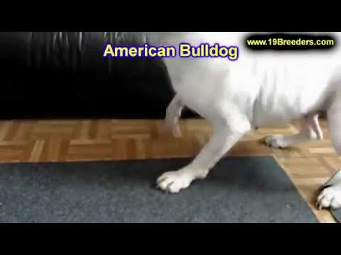 American Bulldog, Puppies, Dogs, For Sale, In New Orleans, Louisiana, LA, 19Breeders, Metairie