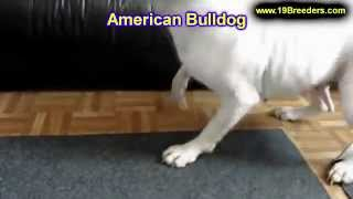 American Bulldog, Puppies, For, Sale, In, Baton Rouge, Louisiana, La, Minden, West Monroe, Luling, C