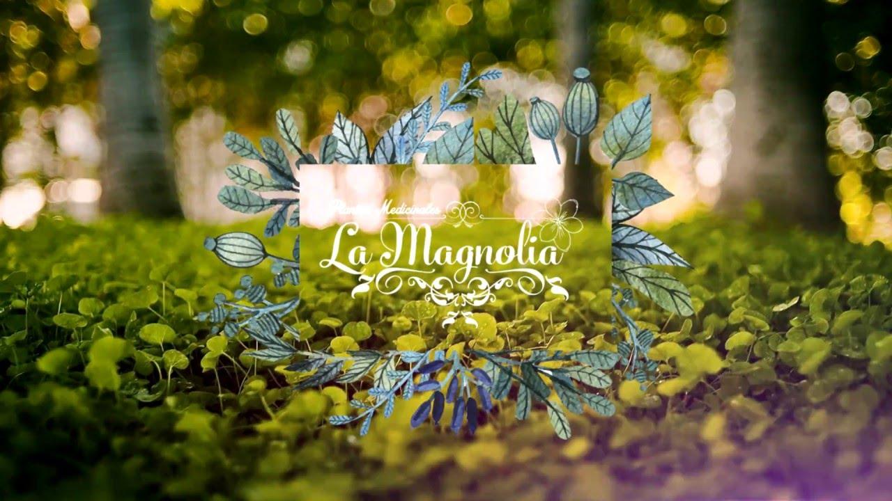 Plantas medicinales la magnolia youtube - Magnolia planta cuidados ...