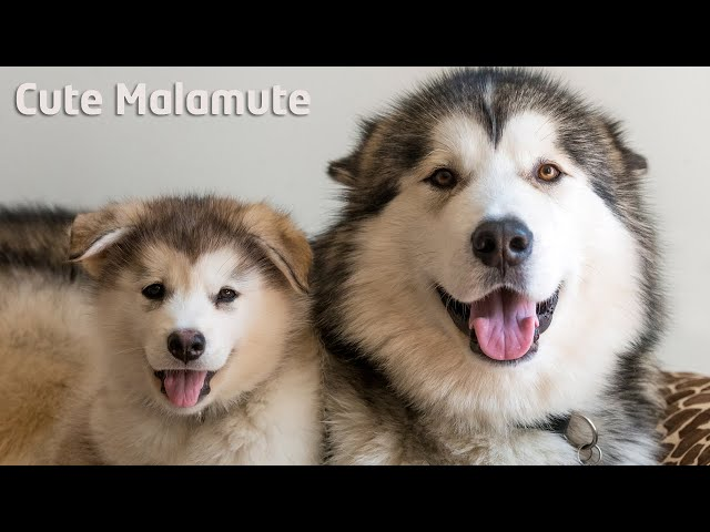 Alaskan Malamute giving singing lessons to puppy
